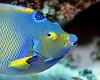 Queen Angelfish Macro 1