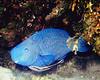 Blue Parrotfish & Remora