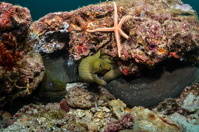 Two Moray Eels in Loreto, Baja California, Mexico