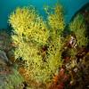 Black Coral in Loreto, Baja California, Mexico