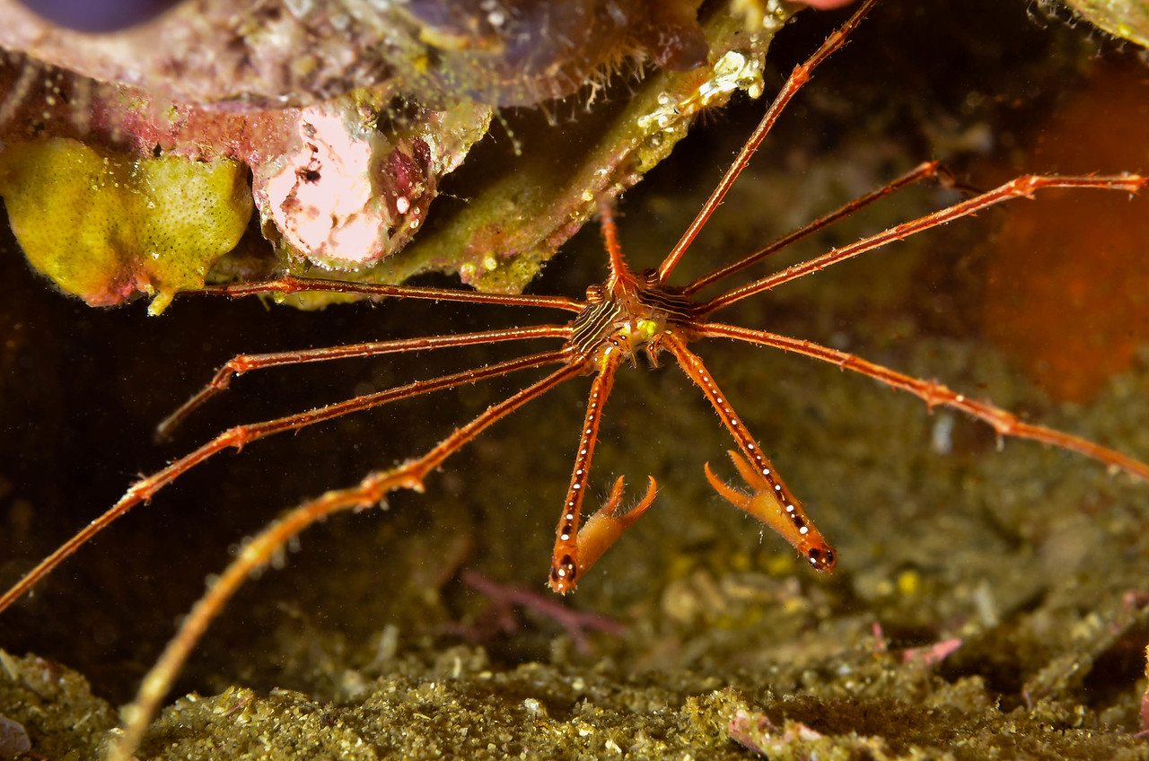 An Arrow Crab in Loreto, Baja California, Mexico