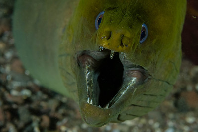 A Moray Eel closeup taken in Loreto, Baja California, Mexico