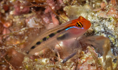 Redhead Goby Elacatinus puncticulatus in the Sea of Cortez, Mexico