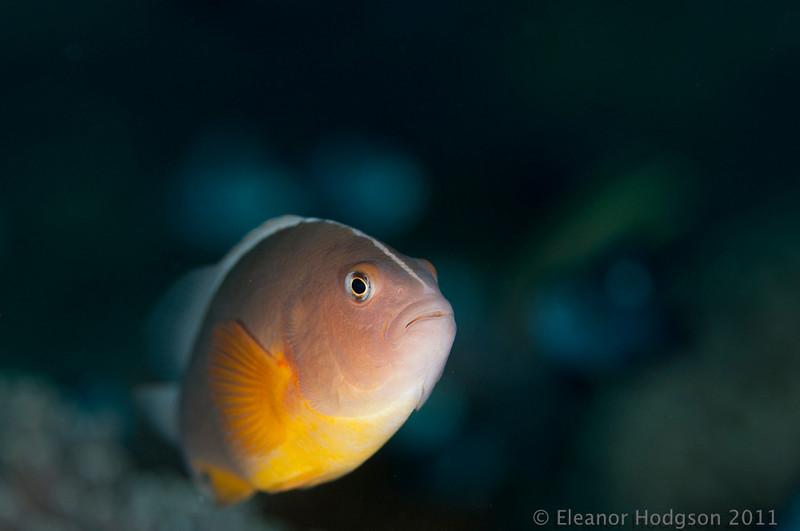 Pink Anemone Fish - Coral Gardens Tulamben