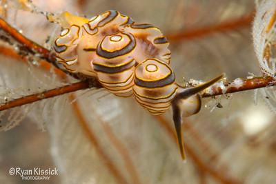 Donut Nudibranch