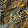 Periclimenes<br /> Crinoid Shrimp