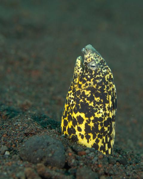 Marbled Snake Eel / Callechlys marmorata