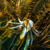 Elegant Squat Lobster/ Allogalathea elegans
