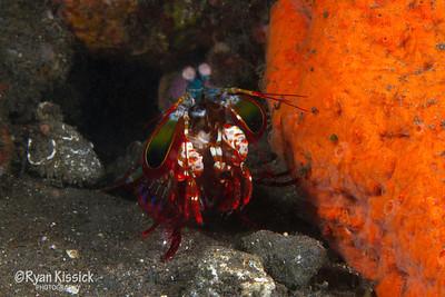 Peacock mantis shrimp next to orange sponge