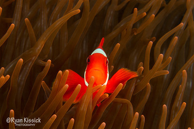 Face of spinecheek anemonefish