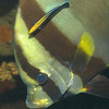 Golden Spadefish / Plataz orbicularis