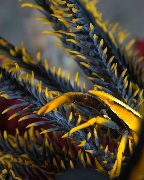 Elegant Squat Lobster/ Allogalathea elegans<br /> <br /> For all you Blue & Gold fans