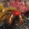 Squat Lobster/ Galatheidae