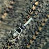 Periclimenes Cornutus<br /> Crinoid Shrimp
