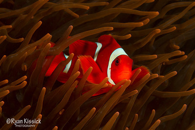 Spinecheek anemonefish in an orange anemone