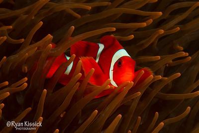 Spinecheek anemonefish in an orange anemone