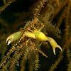 Gorgonian Crab / Quadrella granulosa