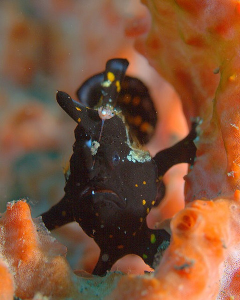 Painted Frogfish Juvenile/ Antennarius pictus
