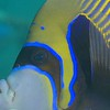Emperor Angelfish/ Pomacanthus imperator