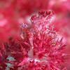Soft Coral/Dendronephthya Crab/ Hoplophrys oatesii<br /> <br /> Pom Poms anyone???