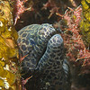 Honeycombed Moray / Gymnothorax favagineus