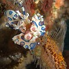 Harlequin Shrimp/ hymenocera picta<br /> <br /> Have been observed eating the sea star from tip upwards to the central disc.