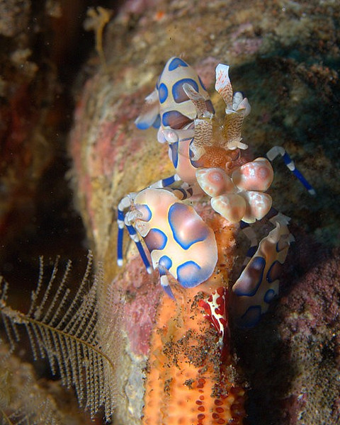 Harlequin Shrimp /Hymenocera picta<br /> Engaged in eating a Sea Star