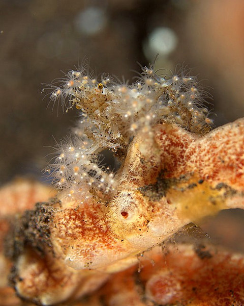 Unidentified Decorator Crab<br /> adorned with hydroids..