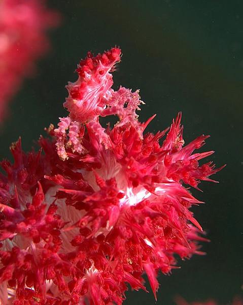 Soft Coral Crab/ hoplophrys oatesii