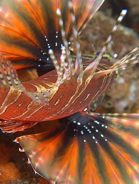 Zebra Lionfish /Dendrochirus zebra<br /> <br /> a different view...