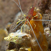 Lysmatella prima<br /> Uncommon..cleaner shrimp