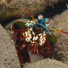 Smashing Mantis Shrimp/ Odontodactylidae Scyllarus