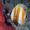 Orange-Banded Coralfish