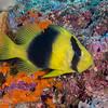 Doublebanded Soapfish
