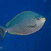 Java Rabbitfish