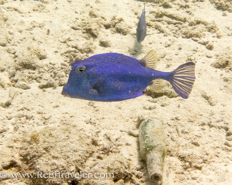 The coloration of this cowfish was not altered.  It was seen at shallow depth, and this is how it appeared.