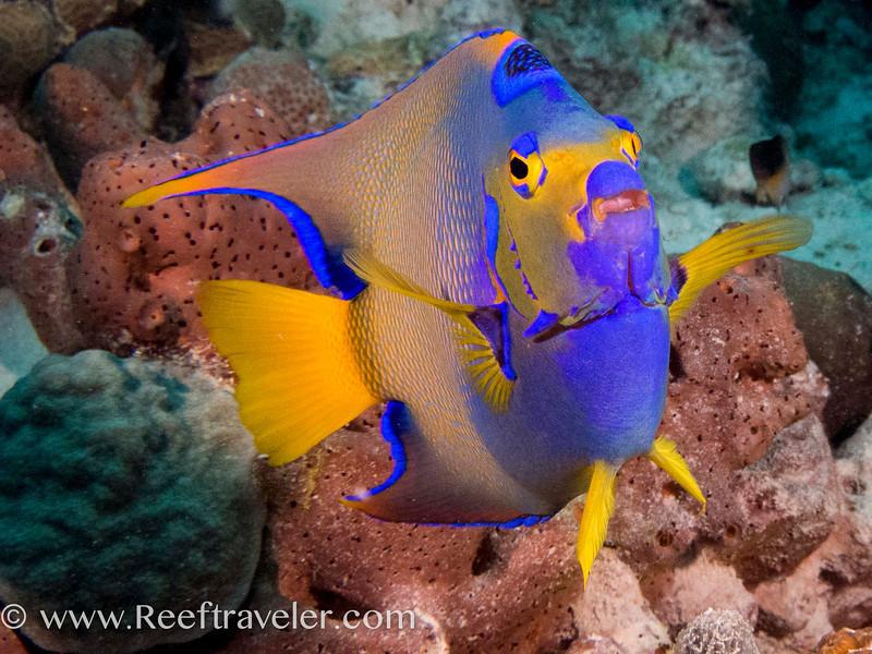 Queen Angelfish Portrait