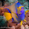 Queen Angelfish Portrait