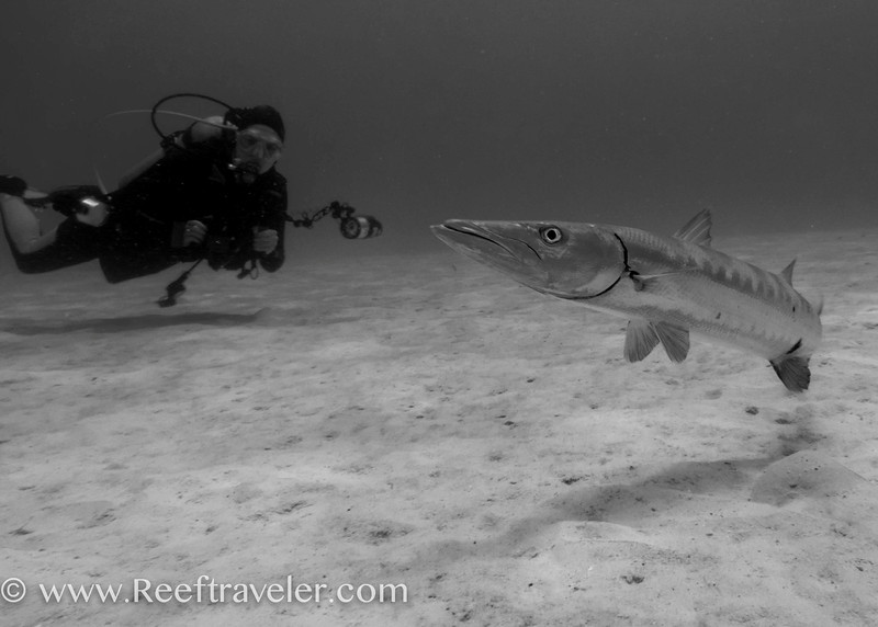 Diver with Barracuda at Chachacha Beach