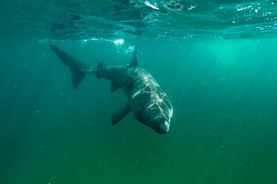 Basking Sharks Scotland 2016-08