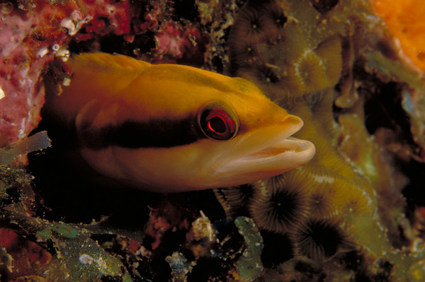 A Wrasse Blenny peers from an abandoned worm hole on a coral head. They allow a very close approach unless disturbed.