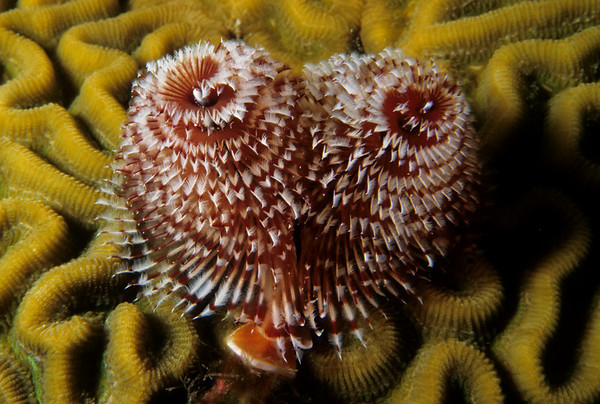 A Christmas Tree Worm deploys its gill structure for feeding atop a Brain Coral head.