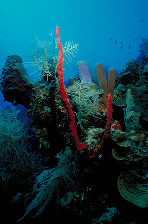 Exquisitely colored sponges decorate this Roatan seascape.