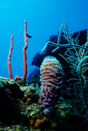 Colorful sponges adorn the coral reeftop in Roatan. Red Rope Sponge, Azure Vase Sponge