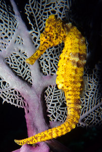 A Common Seahorse seeks refuge by a purple sea fan in the Bay Islands of Honduras.