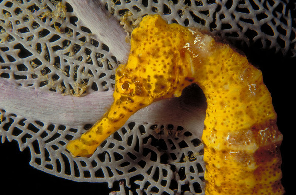 Closeup of a Common Seahorse. End of the Wall - dive site Bay Islands, Honduras
