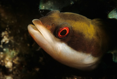 A Wrasse Blenny peers from an abandoned worm hole on a coral head.
