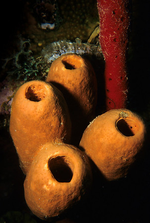 Sponges on a Roatan reef wall.
