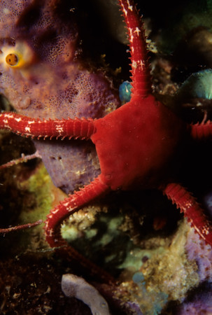 A Ruby Brittle Star clings to a purple tube sponge.