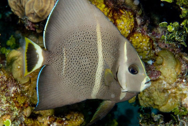 Gray Angelfish, intermediate